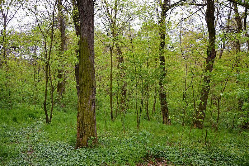 Rezervație_naturală_de_pădure_Pociumbeni_în_Moldova